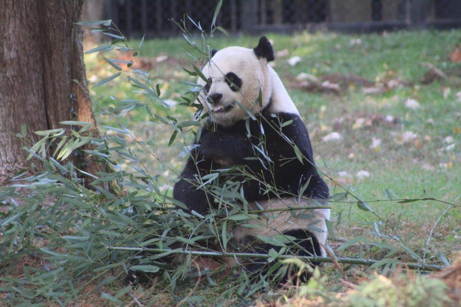 A panda at the National Zoo